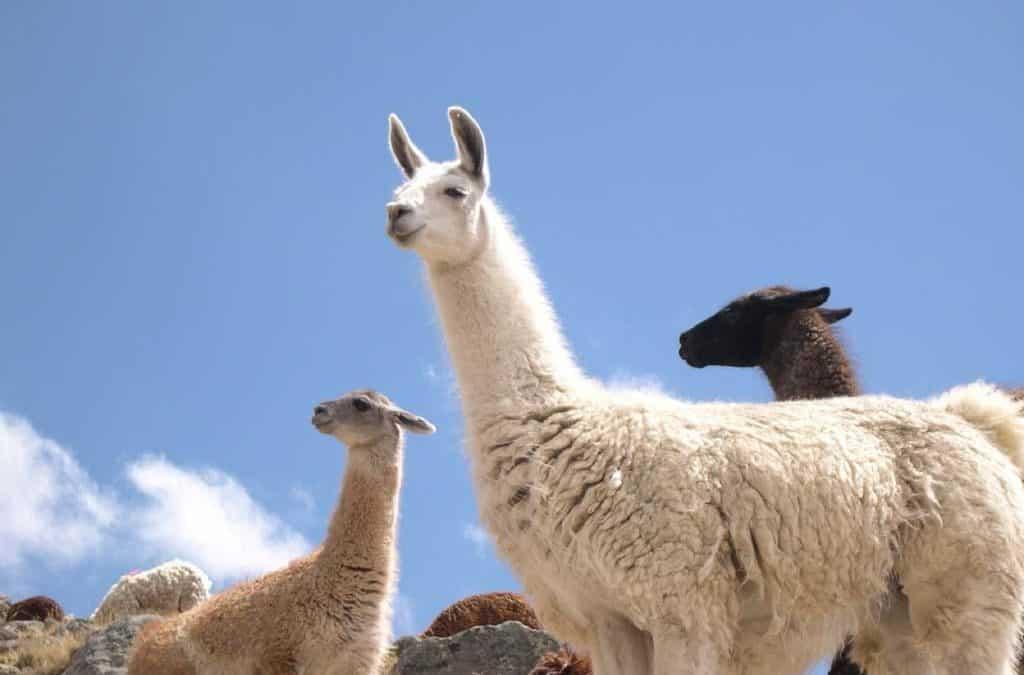 Pourquoi les Lamas dirigerons le monde dans 10 ans ?