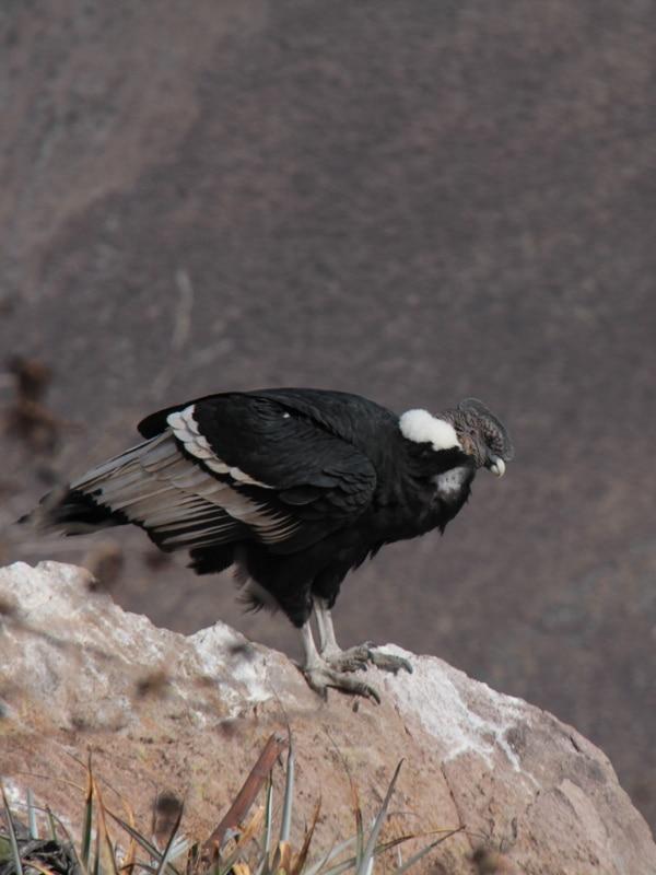 Condor dans le Colca