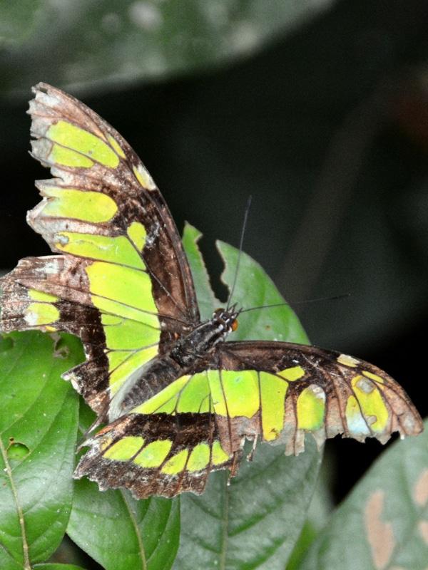 papillon Tambopata