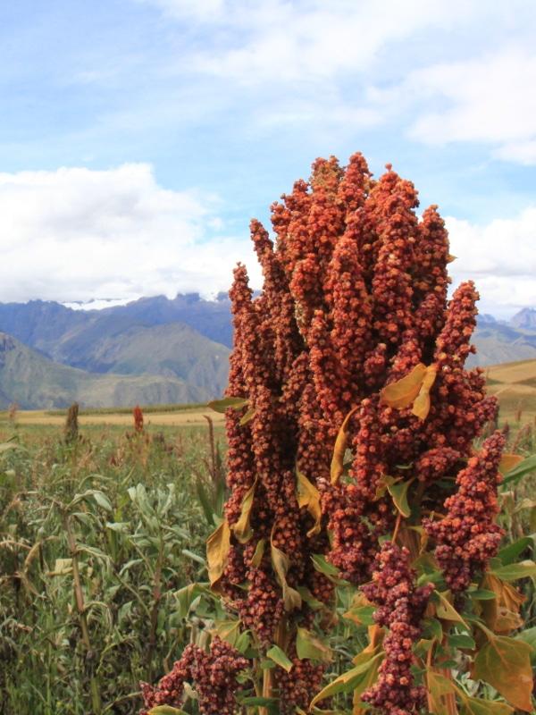 Quinoa Moray